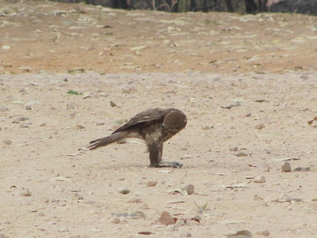 brown-falcon-foraging-3