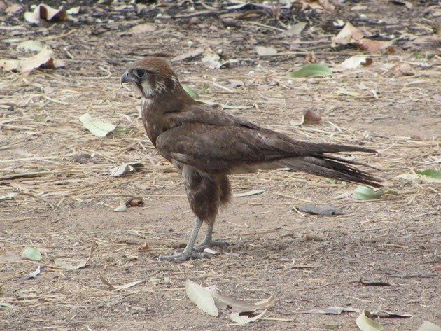 brown-falcon-foraging-4