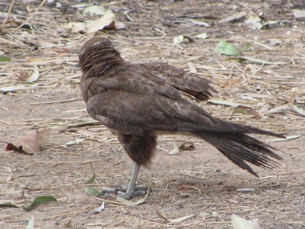 brown-falcon-foraging-5