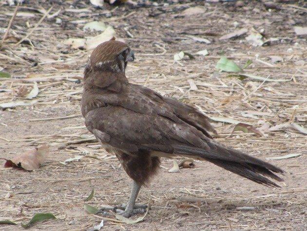 brown-falcon-foraging-6