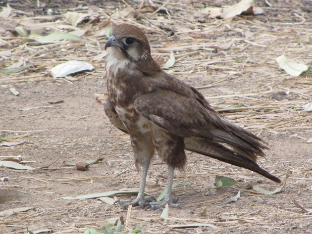 brown-falcon-foraging-7