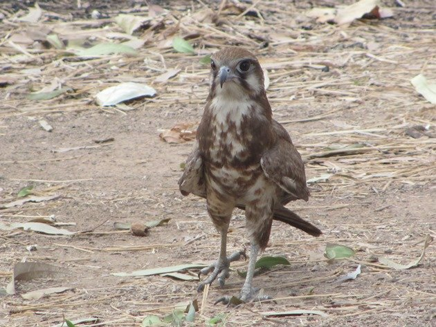 brown-falcon-foraging-8