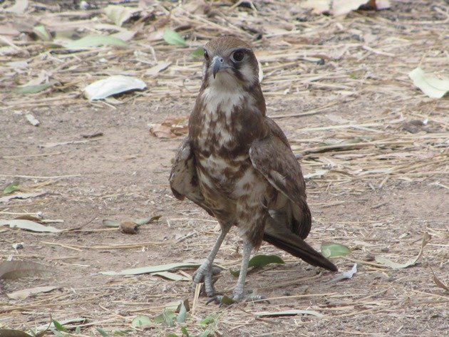 brown-falcon-foraging-9