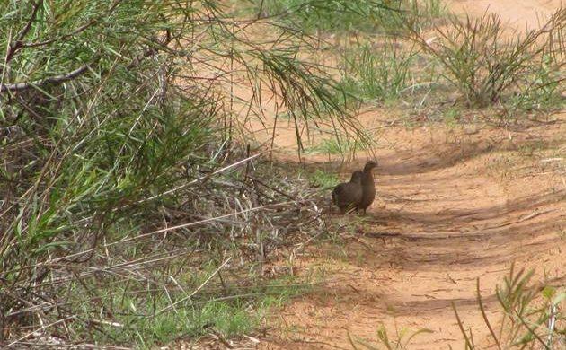 Brown Quail in Australia