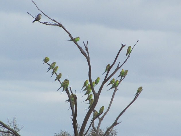 Budgerigars and Black-faced Woodswallows