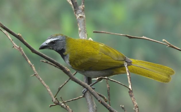 Buff-throated saltator not throat