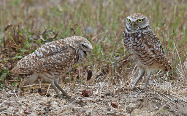 burrowing-owls