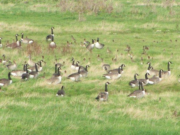 canada-geese-greylag-geese-eurasian-wigeon