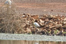 Cattle Egret in breeding plumage in June in Derby