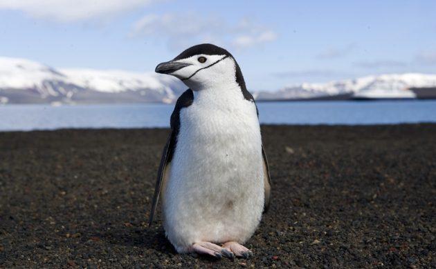 Achoo! Antarctic Penguins Are Catching Bird Flu