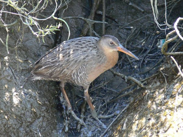 Clapper rail on shadowed ground