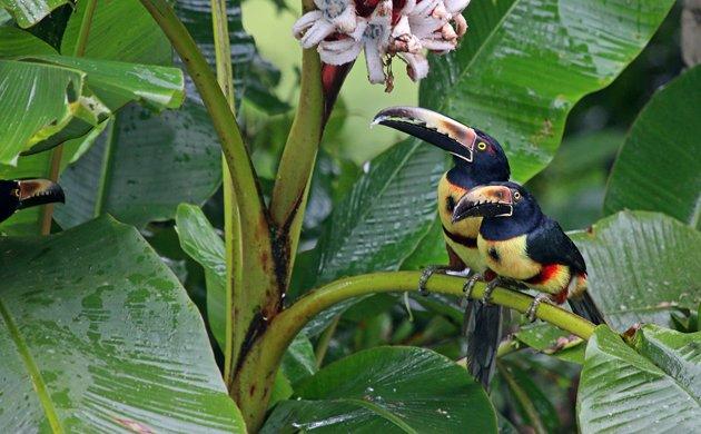Collared Aracari at Finca Luna Nueva Lodge, Costa Rica - 10,000 Birds