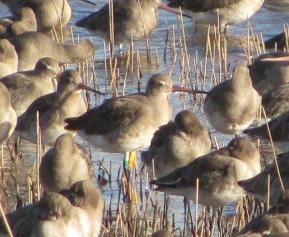 colour-ringed-black-tailed-godwit-3