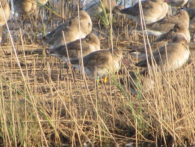 colour-ringed-black-tailed-godwit-4