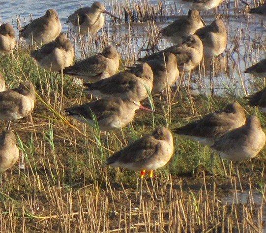 colour-ringed-black-tailed-godwit