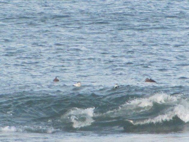 common-eider-surfing-2