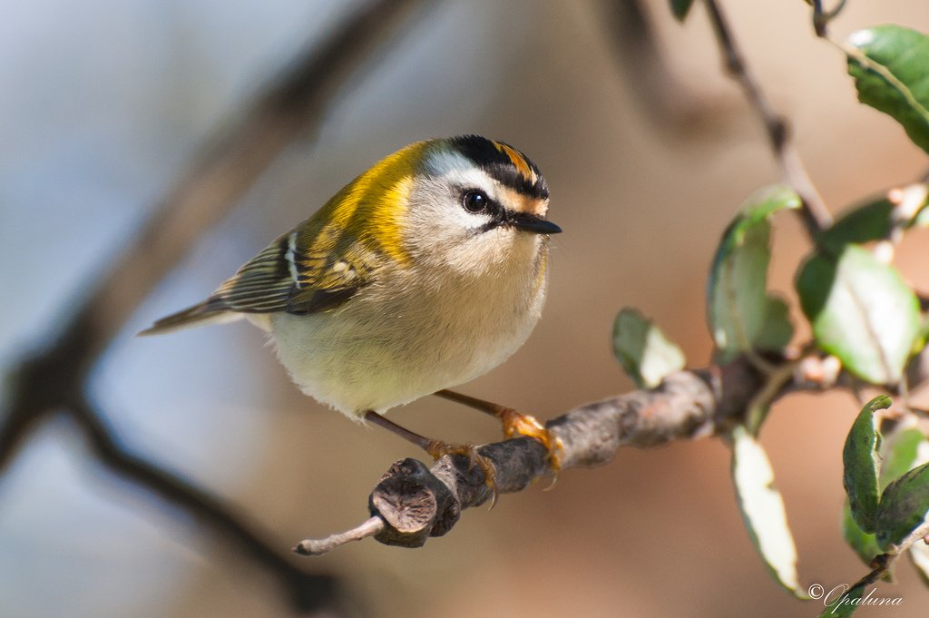Common Firecrest by Opaluna