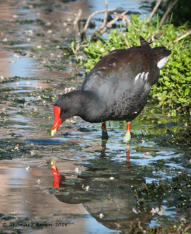 Common Gallinule (1)