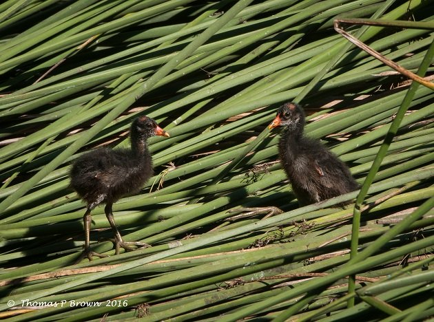Common Gallinule (3)