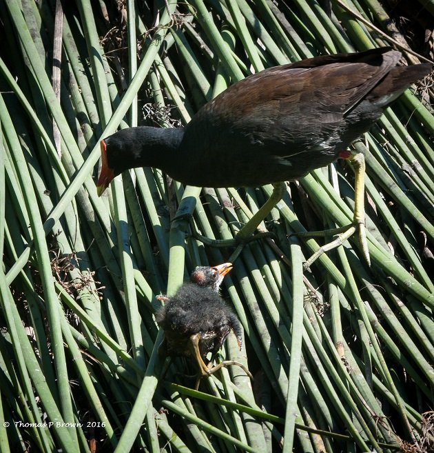 Common Gallinule (4)