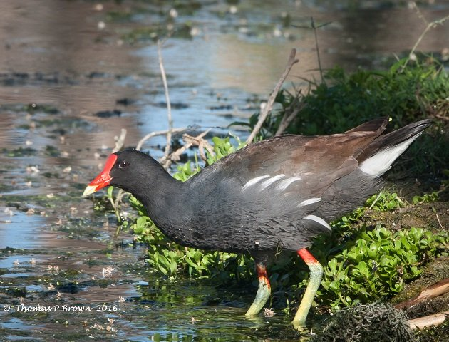 Common Gallinule (8)
