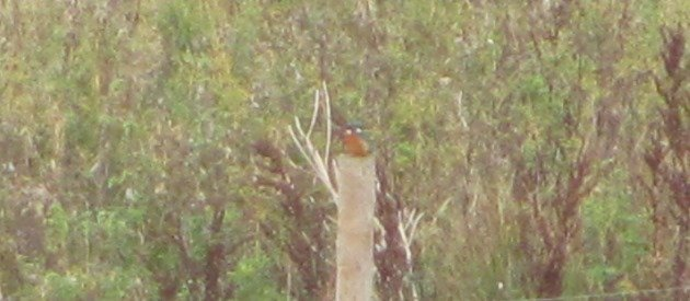 common-kingfisher-2