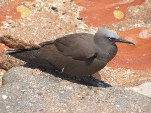 Common Noddy (4)