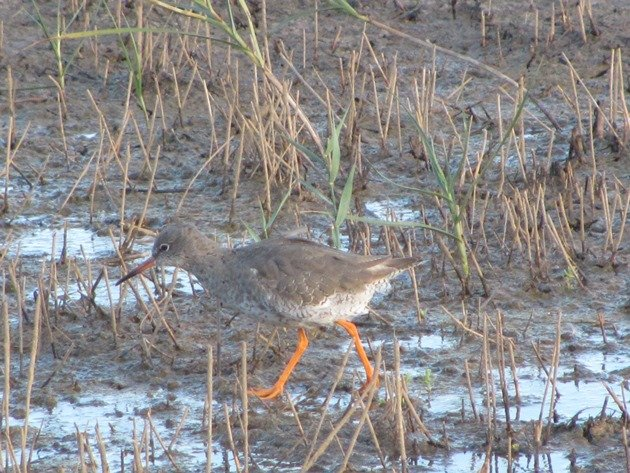 common-redshank