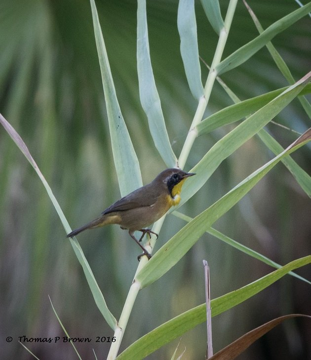 common-yellowthroat-juvi-male