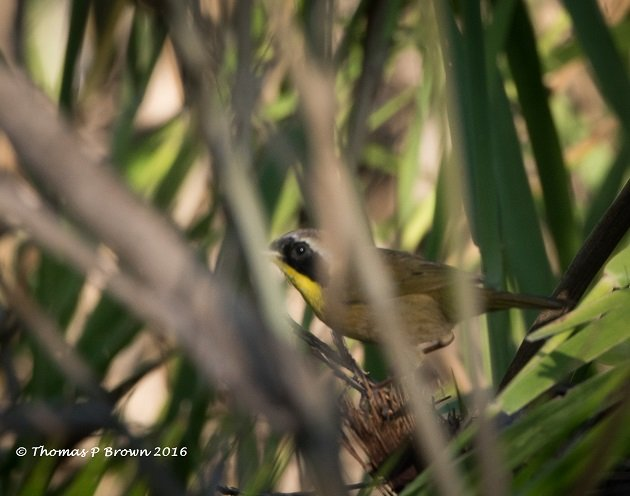 common-yellowthroat-male-2