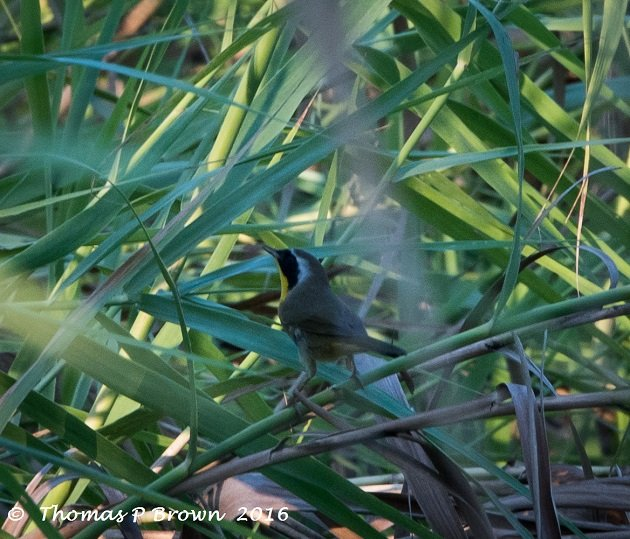 common-yellowthroat-male