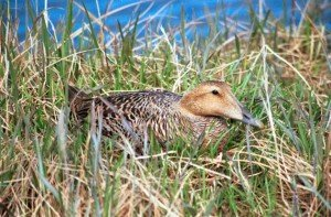 Common Eider female on nest