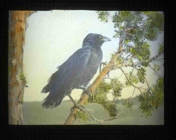 Common Raven: Historic photo