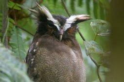 Quality Lowland Caribbean Birding in Costa Rica at Centro Manu