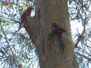 Crimson Rosellas