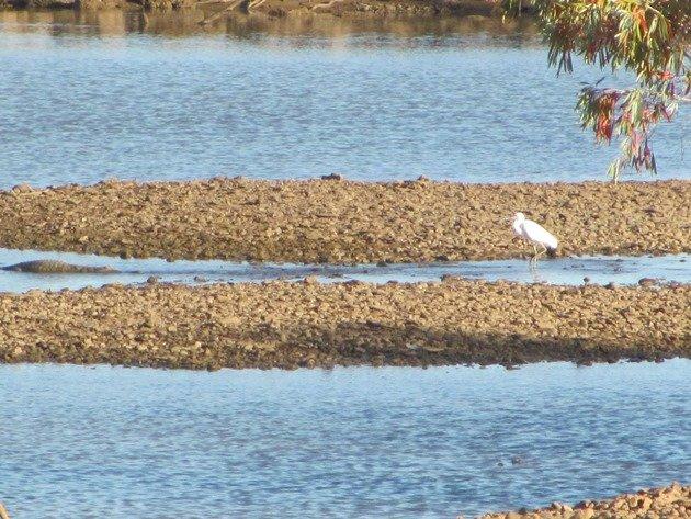 Crocodile & Intermediate Egret