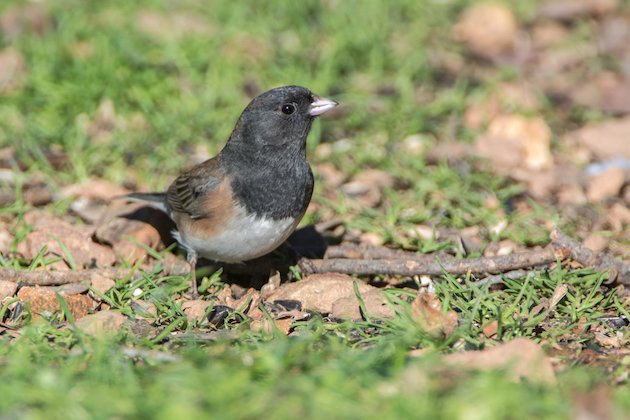Dark-eyed Junco (Oregon) Male