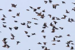 Starling Spectacle