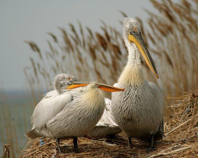 dalmatian-pelican_sebastian-bugariu