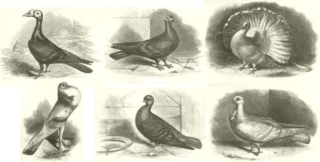 print of fancy pigeon breeds