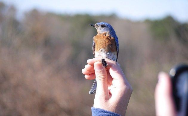 bluebird, banding