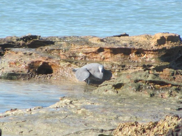 Eastern Reef Egret-grey morph (2)