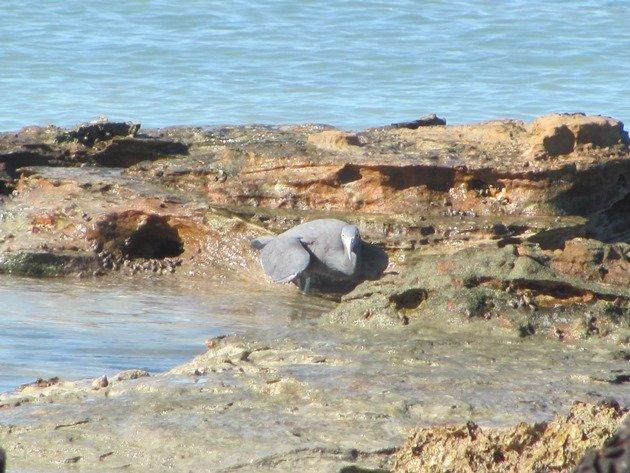 Eastern Reef Egret-grey morph (2)
