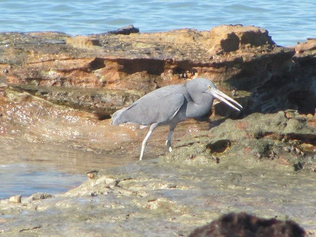 Eastern Reef Egret-grey morph (4)