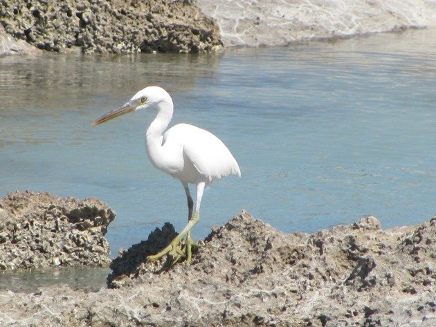 Eastern Reef Egret-white morph (2)