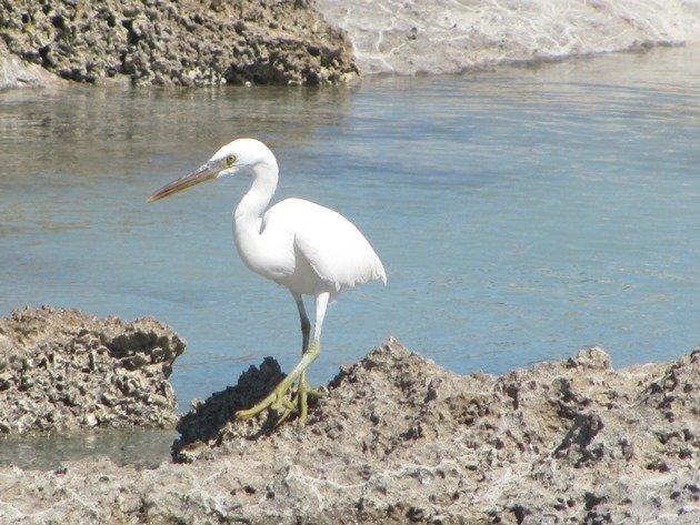 Eastern Reef Egret-white morph (2)