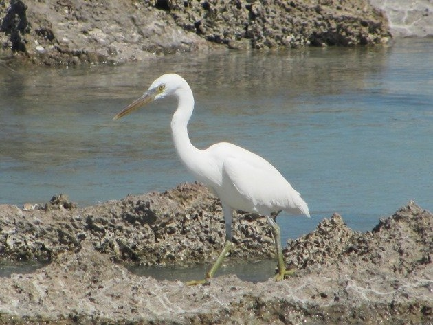 Eastern Reef Egret-white morph (3)