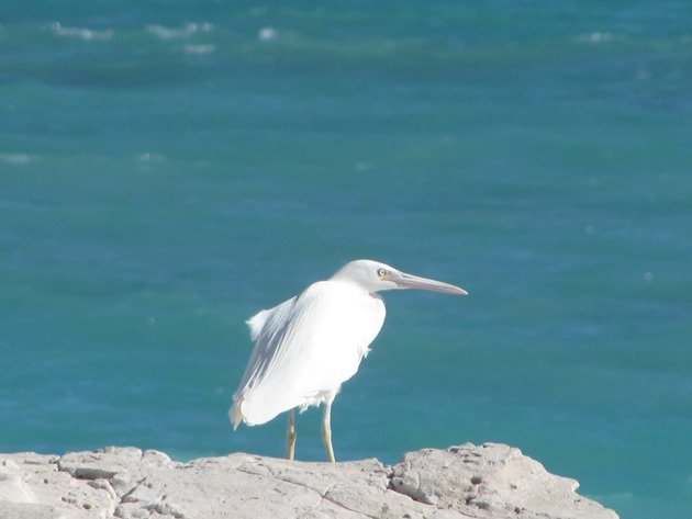 Eastern Reef Egret-white morph (4)