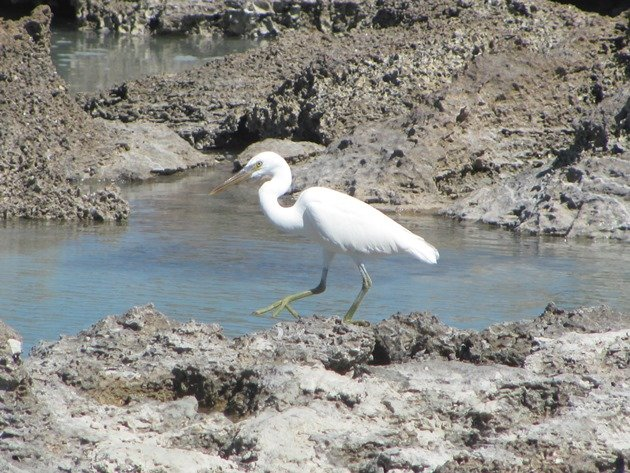Eastern Reef Egret-white morph