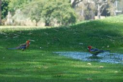 Bathing Eastern Rosellas
